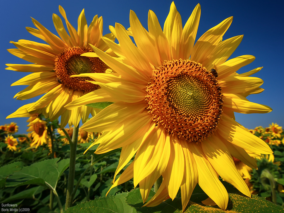 Suncokreti-sunflowers - Page 28 13826510