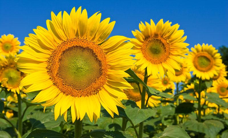 Suncokreti-sunflowers - Page 27 2910