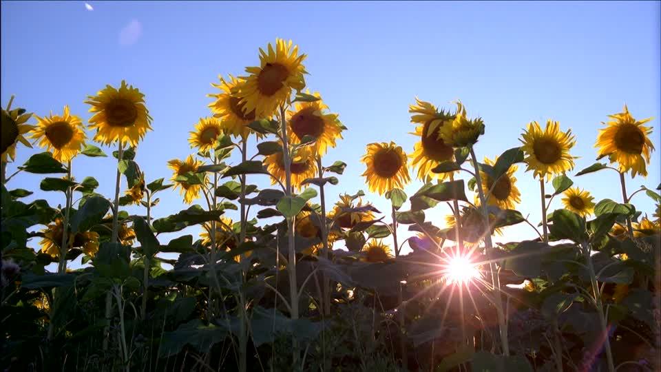 Suncokreti-sunflowers - Page 28 30584110