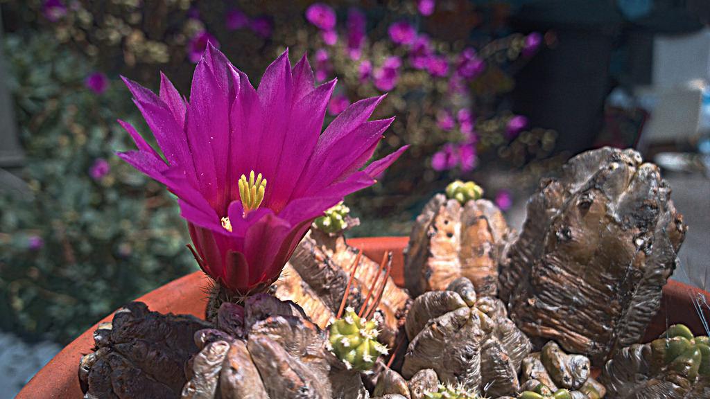 Kaktusi - Page 35 34835510