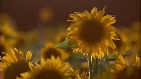 Suncokreti-sunflowers - Page 28 39075510