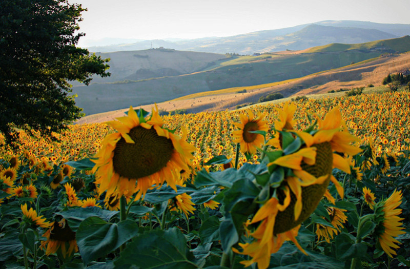 Suncokreti-sunflowers - Page 28 40419910