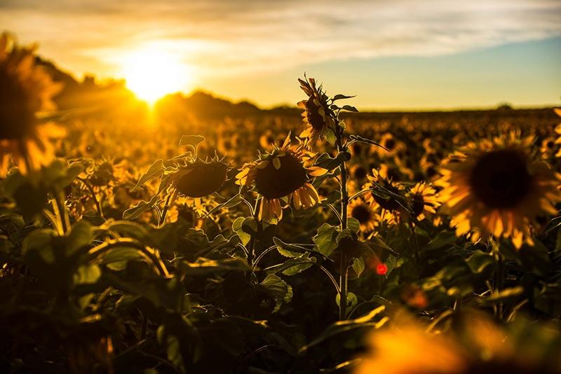 Suncokreti-sunflowers - Page 28 40552510