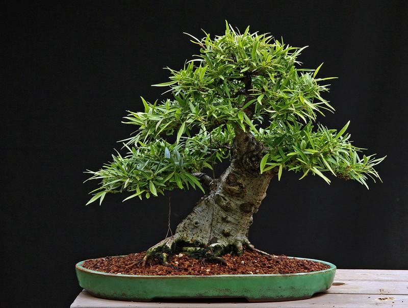 Bonsai - Page 33 60572110