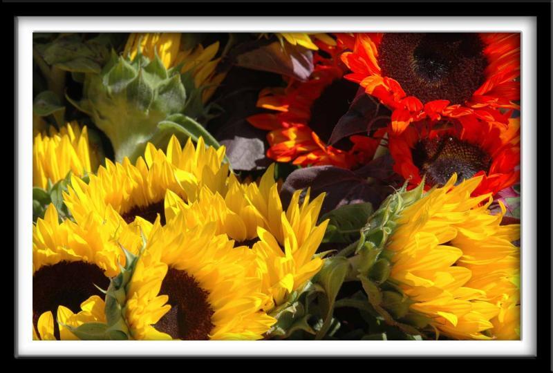 Suncokreti-sunflowers - Page 27 8a2kz10