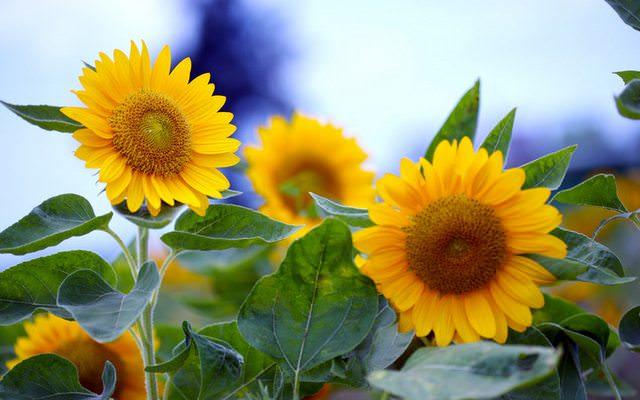 Suncokreti-sunflowers - Page 27 Adssbl10