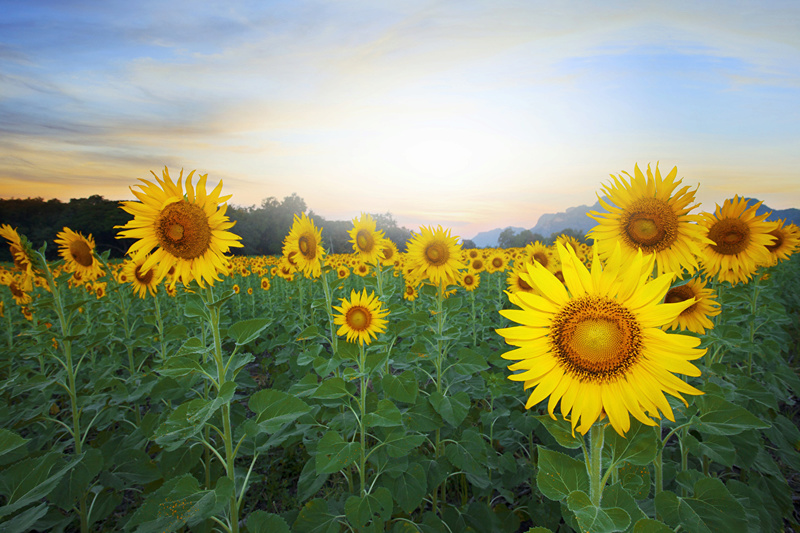 Suncokreti-sunflowers - Page 27 Fields10