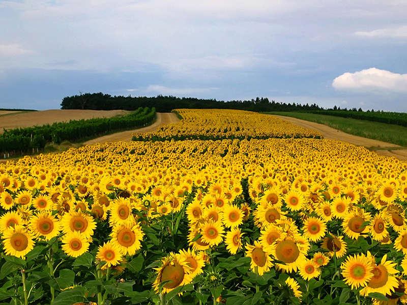 Suncokreti-sunflowers - Page 27 Fields11