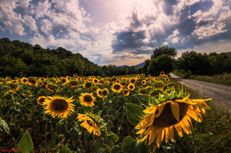 Suncokreti-sunflowers - Page 27 Fields12