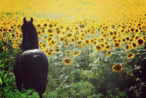 Suncokreti-sunflowers - Page 27 G2ciaf10