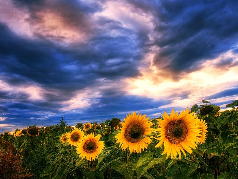 Suncokreti-sunflowers - Page 28 Giraso10