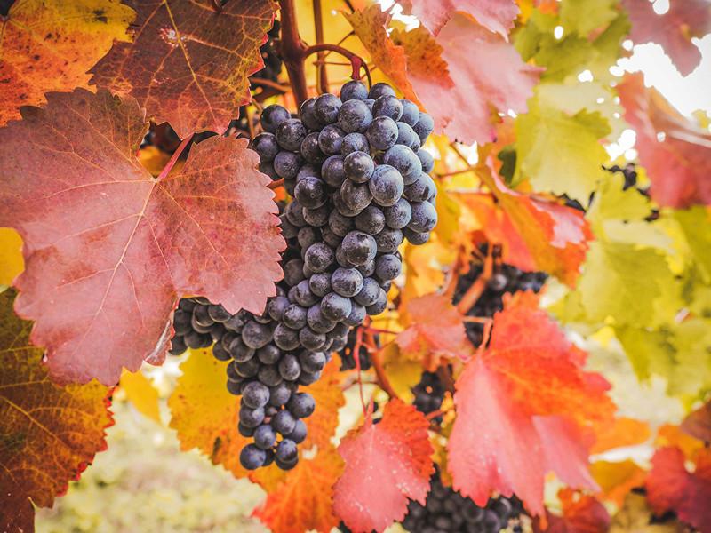 Jesen - Page 31 Grapes10