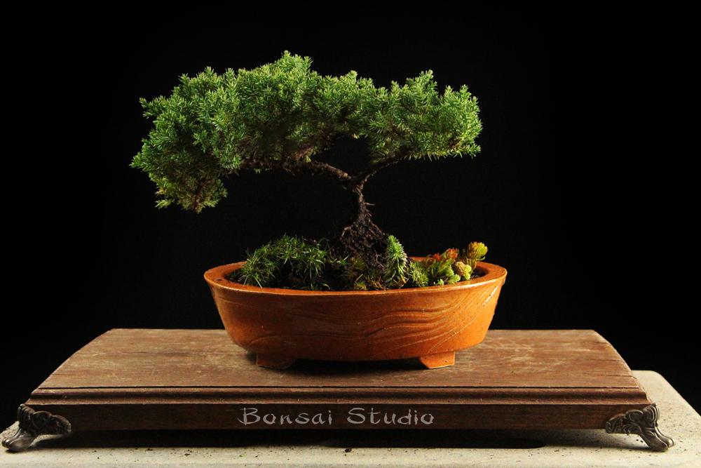 Bonsai - Page 34 Img_6310