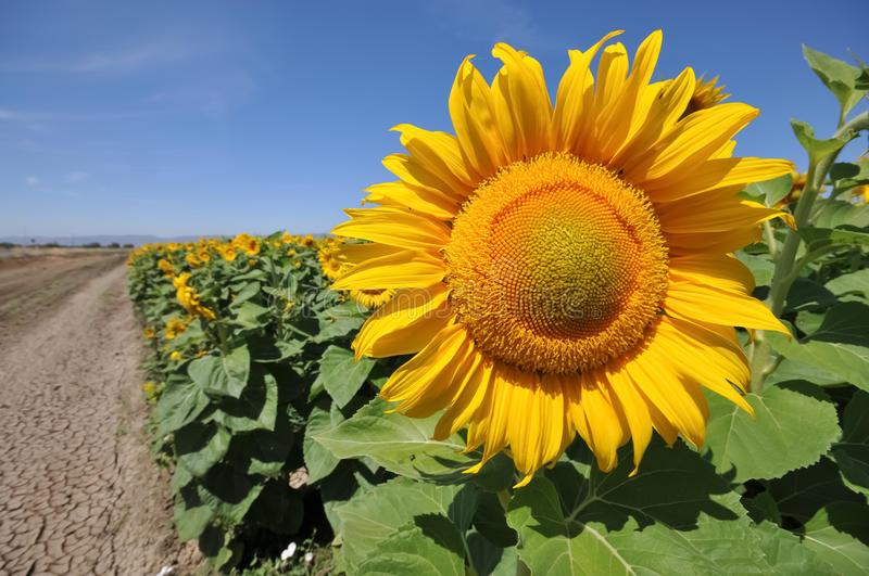 Suncokreti-sunflowers - Page 28 Large-10