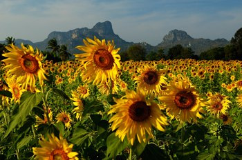 Suncokreti-sunflowers - Page 27 Lopbur10