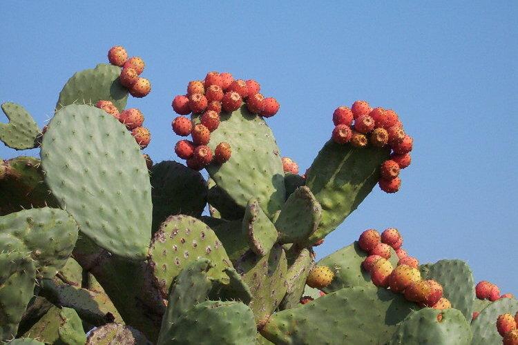 Kaktusi - Page 35 Opunti10