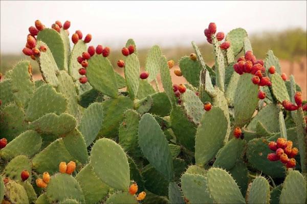 Kaktusi - Page 35 Produc11