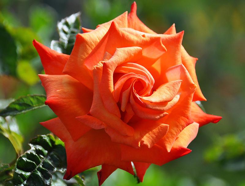 Cveće - Page 22 Roses_17