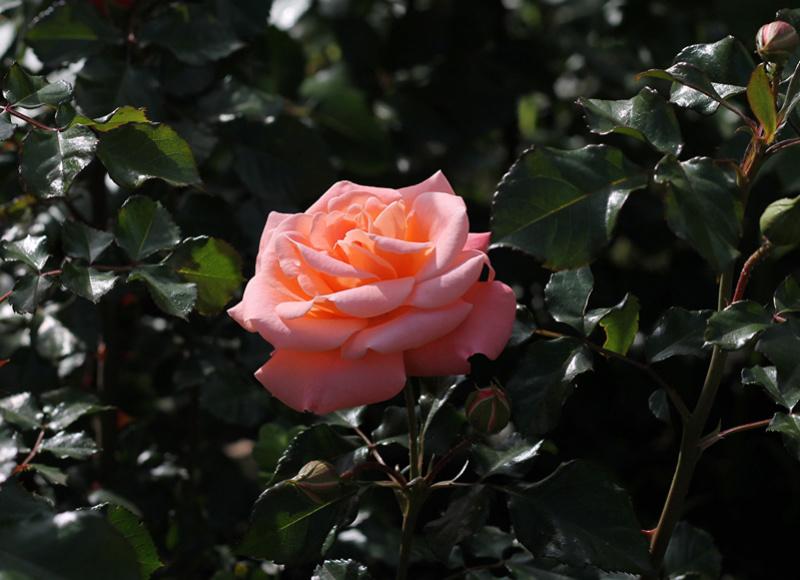 Cveće - Page 22 Roses_22