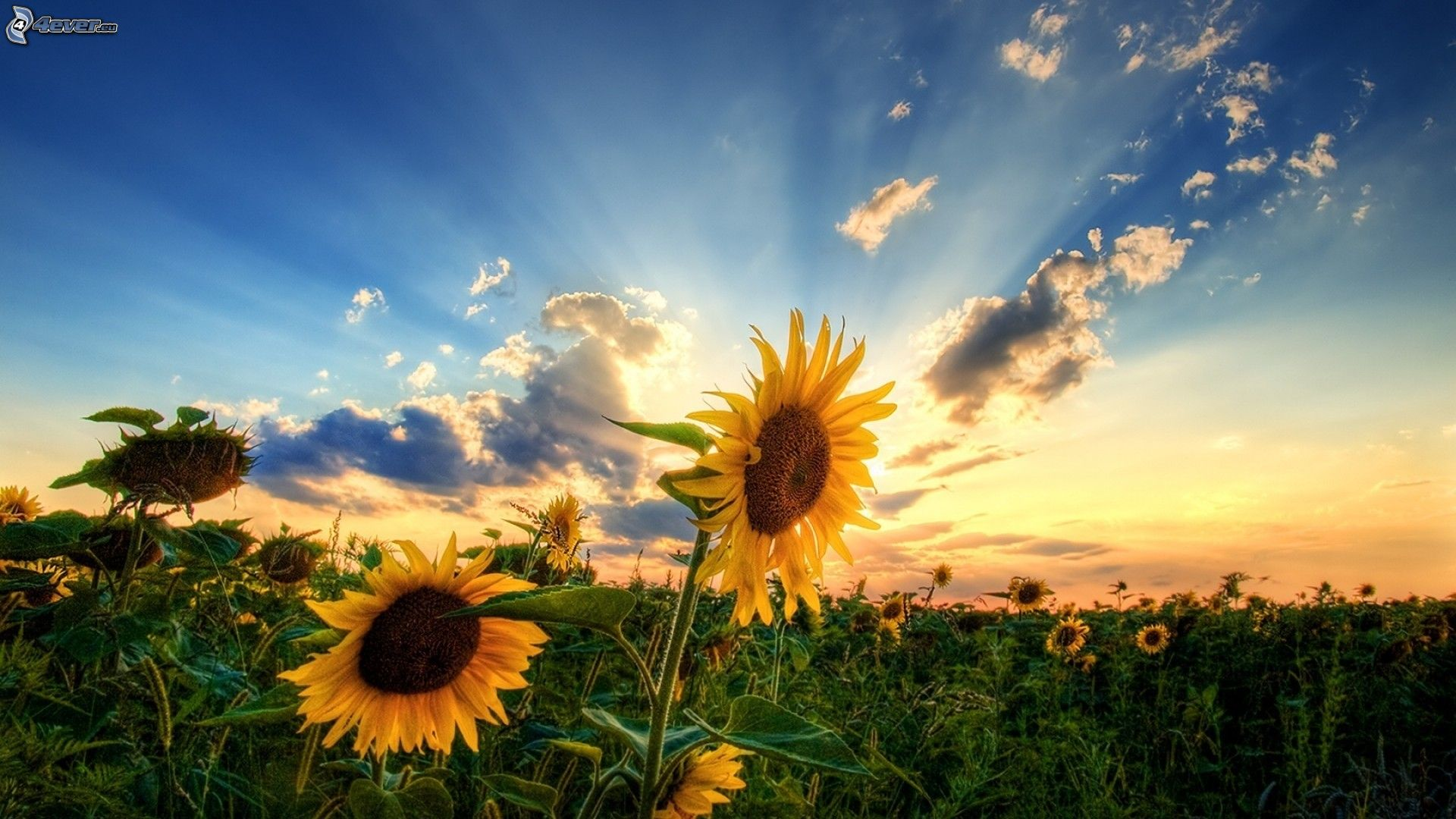 Suncokreti-sunflowers - Page 28 Sonnen11