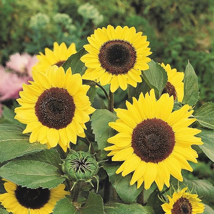 Suncokreti-sunflowers - Page 27 Suncok11