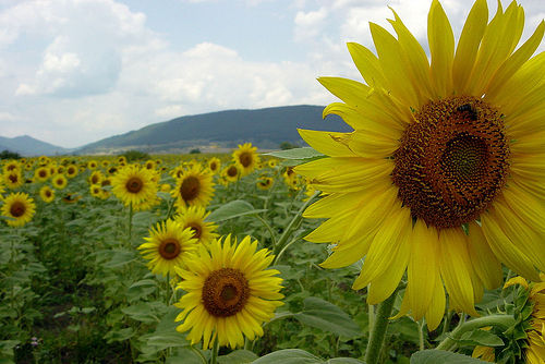 Suncokreti-sunflowers - Page 27 Sunflo12