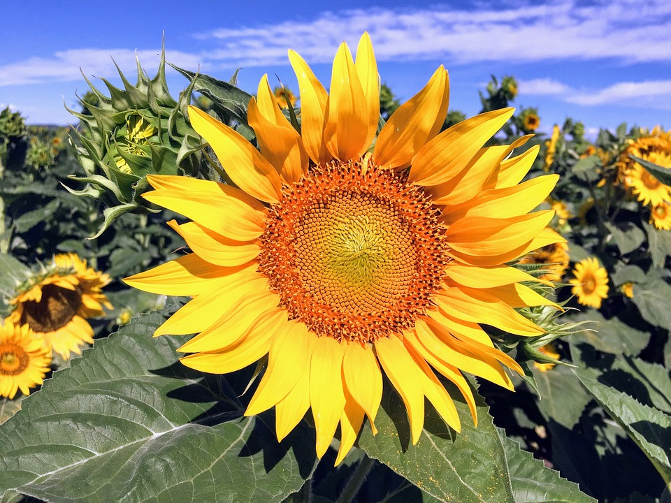 Suncokreti-sunflowers - Page 28 Sunflo16
