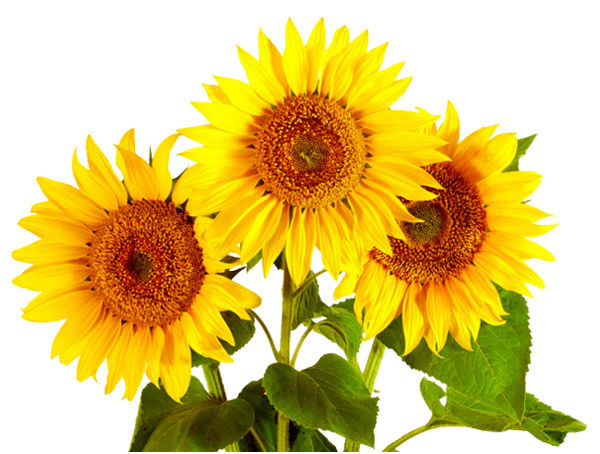 Suncokreti-sunflowers - Page 27 Sv30910