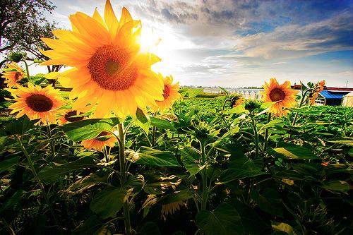 Suncokreti-sunflowers - Page 27 Tumblr47