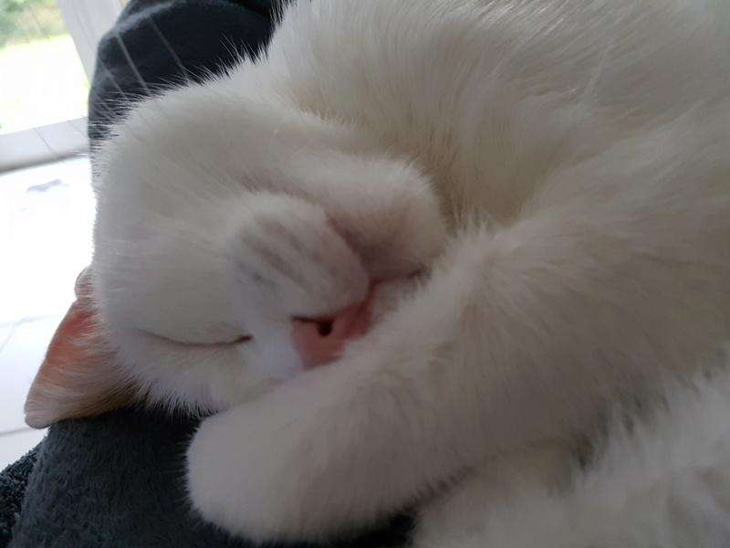 JENNIFER, chatte européenne blanche et tigrée, née en 2014. 20170910