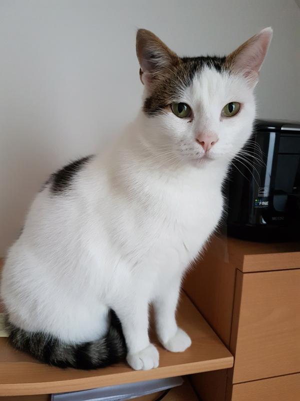 JENNIFER, chatte européenne blanche et tigrée, née en 2014. 20170915