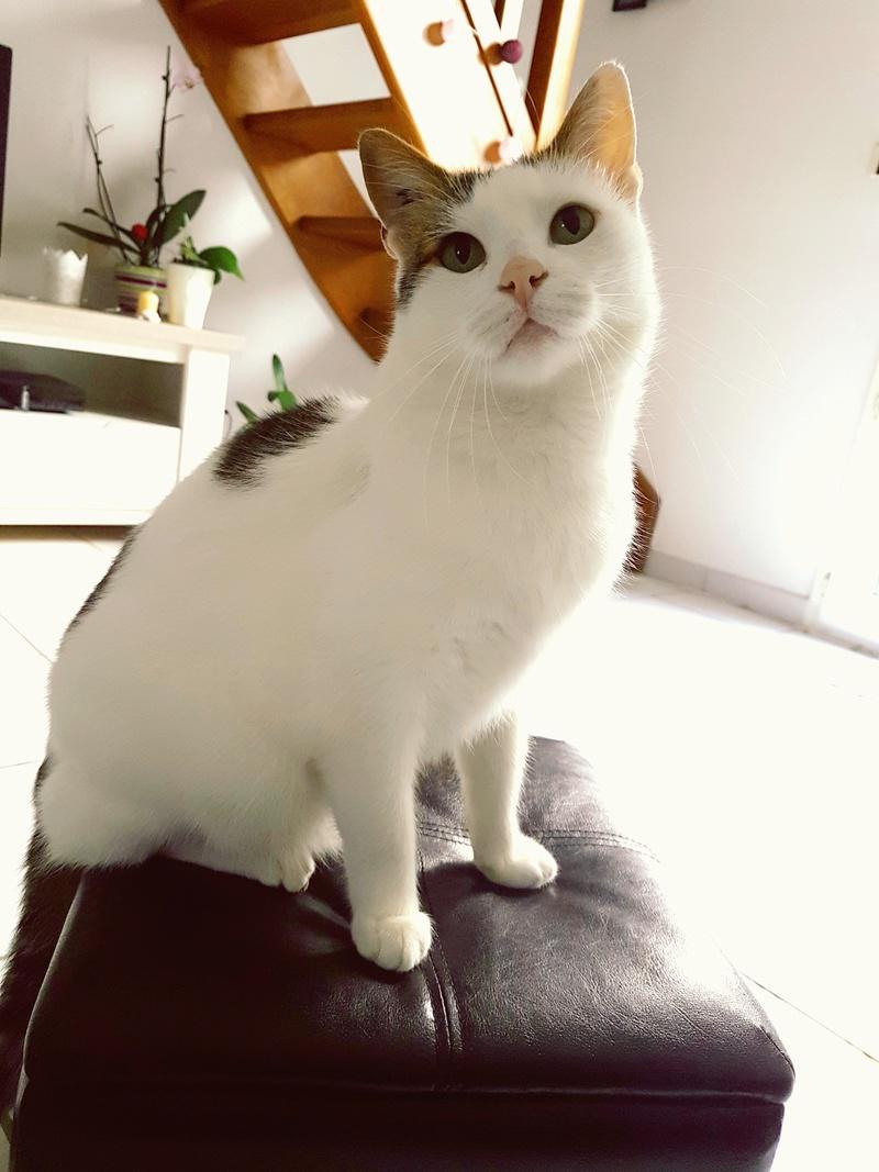 JENNIFER, chatte européenne blanche et tigrée, née en 2014. 20170916
