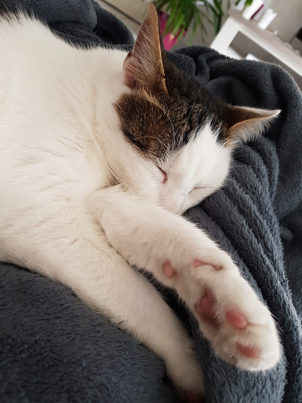 JENNIFER, chatte européenne blanche et tigrée, née en 2014. 20171010