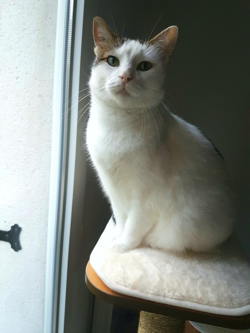 JENNIFER, chatte européenne blanche et tigrée, née en 2014. 20171211