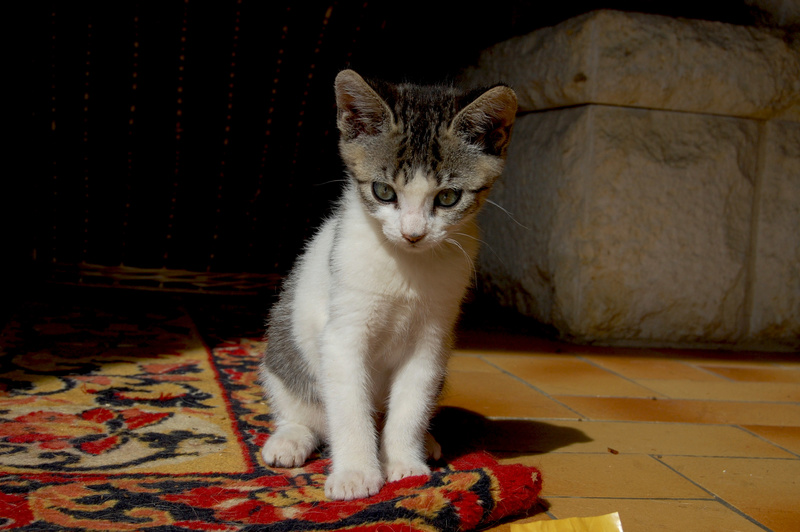 Ganoush et Adolf, deux chatons - ADOPTÉS Dsc_0411