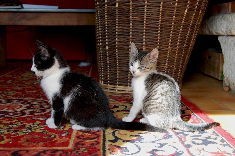 Ganoush et Adolf, deux chatons - ADOPTÉS Dsc_0414
