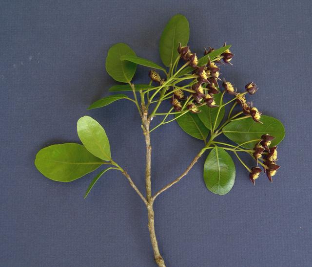 Sloanea terniflora [identification] 1932010