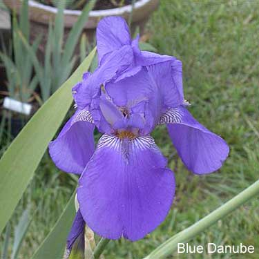 Iris bleu violet strié - dijiris [identification en cours] Blue-d10