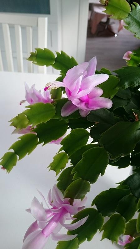 Schlumbergera - le genre - cactus de Noël - Page 7 Dsc_0010