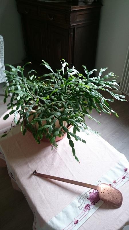 Schlumbergera - le genre - cactus de Noël - Page 7 Dsc_0012