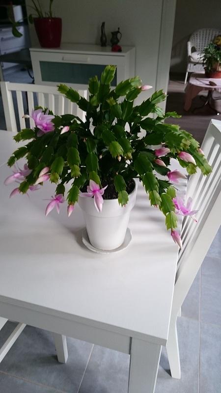 Schlumbergera - le genre - cactus de Noël - Page 7 Dsc_0013