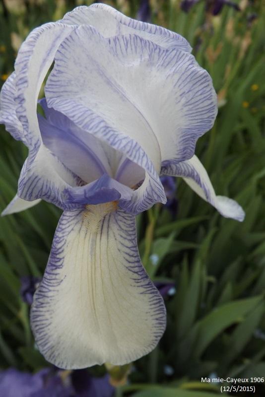 Iris 'Ma Mie' - Ferdinand Cayeux 1906 Dscf1110