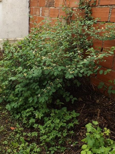 Lonicera xylosteum  [Identification à suivre] Dscf3112