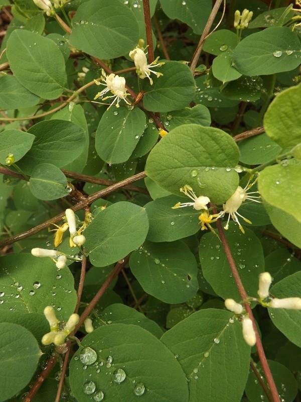 Lonicera xylosteum  [Identification à suivre] Dscf3113