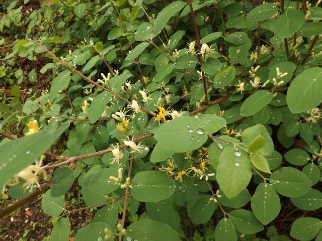 Lonicera xylosteum  [Identification à suivre] Dscf3114