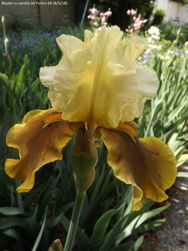 Iris 'Bayberry Candle' - Caroline DeForest 1966 Dscf3214