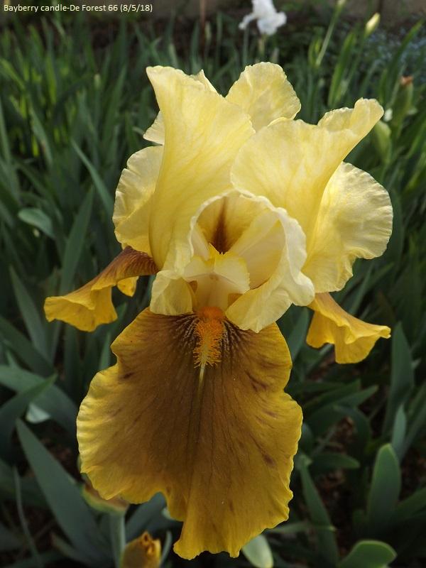 Iris 'Bayberry Candle' - Caroline DeForest 1966 Dscf3215