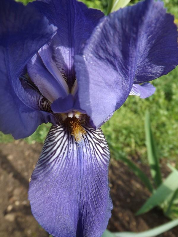 Iris bleu violet strié - dijiris [identification en cours] Dscf3251