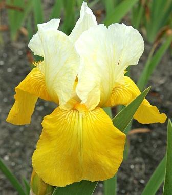 Iris 'Tulip Festival' - William Clough 1974 Iris2010