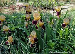 Iris variegata beige et violet - Flora [identification en cours] - Page 2 Iris_b10